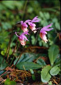 Calypso Orchids, Lake Crescent