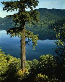 Douglas-fir, Lake Crescent