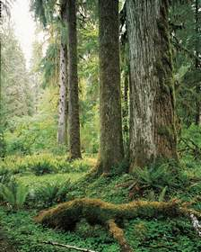 Hoh Rain Forest Cathedral