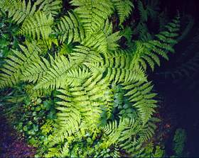 Lady Fern, Sol Duc Valley