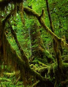 Hoh Rainforest Detail